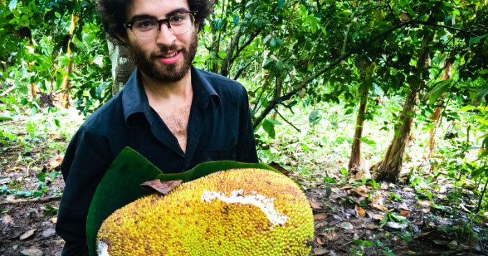 Harvesting a jackfruit