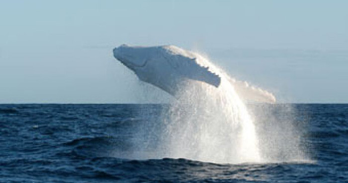 What is the message of Migaloo and the Humpback Whales?