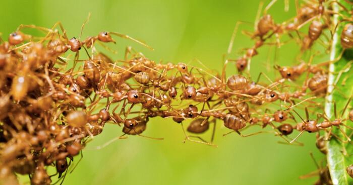 Leaf-Cutter Ants collaborating