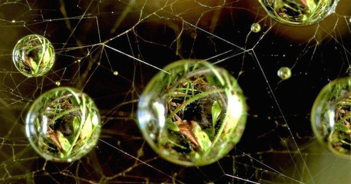 Spider web dew drops