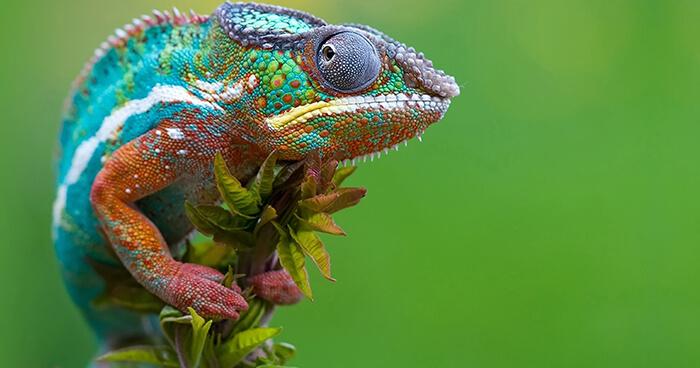 Adaptable Chameleon