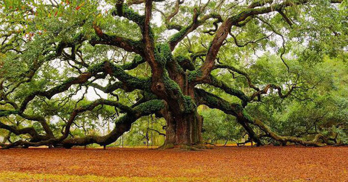 An ancient tree on the forest edge