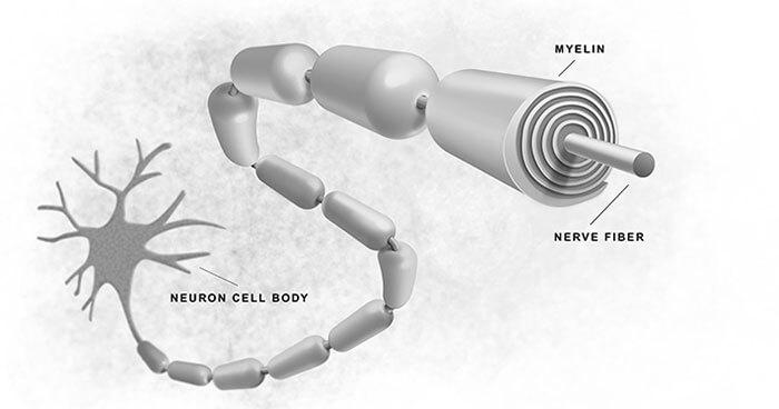 Illustration showing myelin coating around nerve fibre