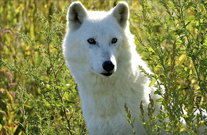 Rewilding wild wolf
