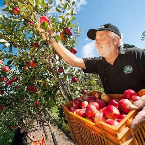 Picking Apples for Thatcher's Cider