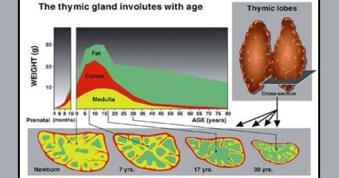 How the thymus ages