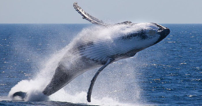 The air is full with the steamy breath of whales